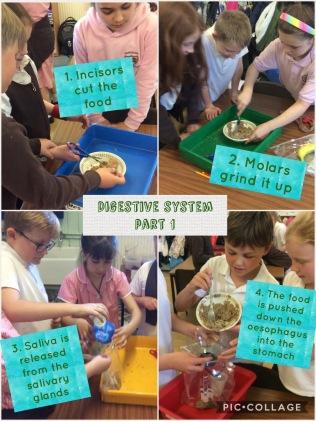 Digestive system 1